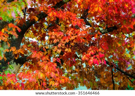 Beautiful colorful oak leaves, autumn day, nature concept