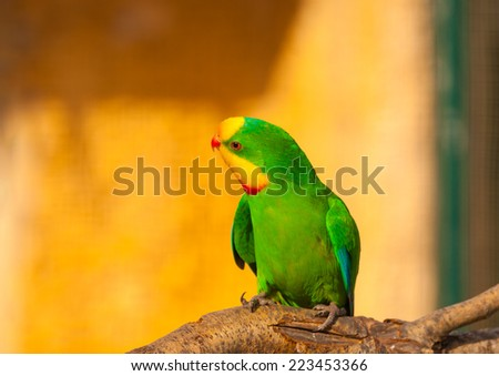 beautiful colorful parrot (agapornis) or (love bird) sitting on his branch - stock photo