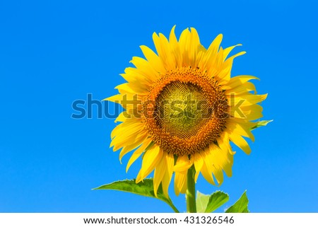 Beautiful colorful sunflower blooms , sunflower with clouds and blue sky. Beautiful landscape with sunflower field over cloudy blue sky and bright sun lights. agriculture