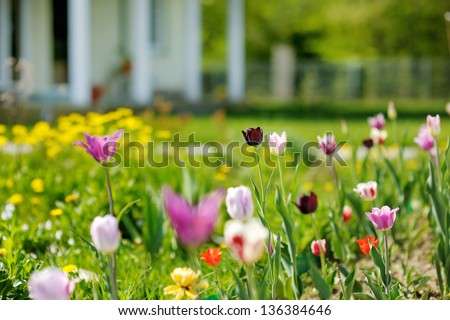 Beautiful colorful tulips in front of a big house