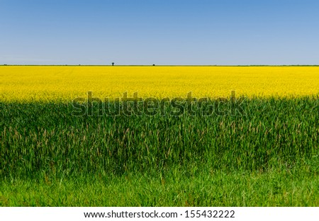 beautiful colorful view of blooming rapeseed plants and blue sky in the background - stock photo