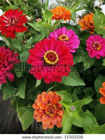 beautiful, colorful zinnia flowers - stock photo