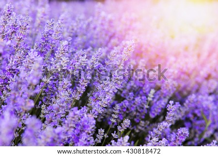 Beautiful colors purple lavender fields