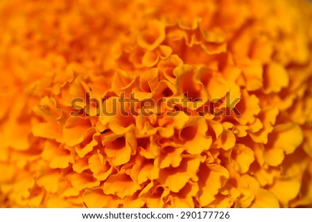 Beautiful coloured bright thick orange flower with many petals closeup, horizontal picture - stock photo