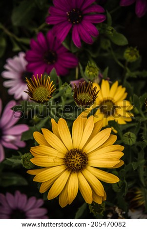 Beautiful colourful African Daisies, Osteospermum, in a green garden at spring. - stock photo