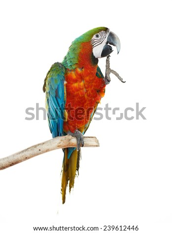 Beautiful colourful parrot sitting on the perch. Blue, green, white, yellow, red and orange Macaw, Ara Ararauna, beautiful bird. White background. Close-up of pretty lorikeet. - stock photo