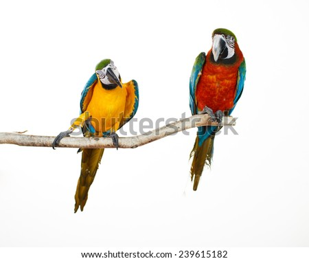 Beautiful colourful parrots sitting on the perch. Blue, white, red, orange and yellow Macaws. Ara Ararauna. Beautiful birds. White background. Close-up of pretty lorikeet. - stock photo