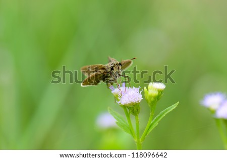 beautiful Common Branded Swift butterfly (Pelopidas mathias) on flower near the road track - stock photo