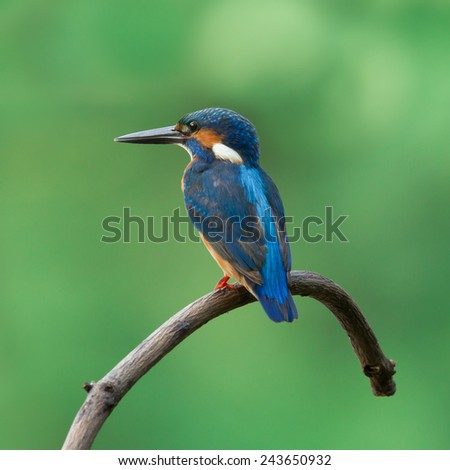 Beautiful Common Kingfisher (Alcedo atthis) standing on a branch - stock photo