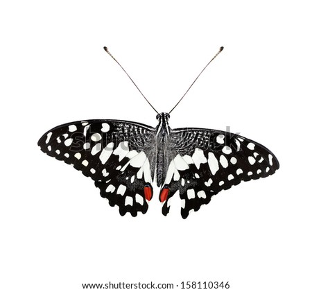 Beautiful Common Lime Butterfly or Lime Swallowtail isolated on white background and with clipping path - stock photo