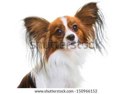 Beautiful  continental toy spaniel sitting on the isolated white background