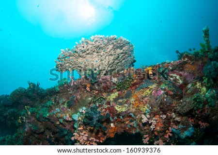 Beautiful coral reef in Anilao, Philippine.