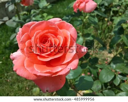 Coral Garden Rose