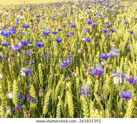 Beautiful cornflowers - stock photo