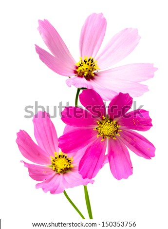 Beautiful Cosmos Flower isolated on white background - stock photo
