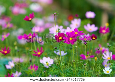 Beautiful Cosmos Flower,selective focus - stock photo