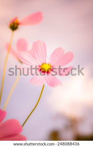 beautiful cosmos flowers on blue sky with day noon light. vintage color tone. - stock photo