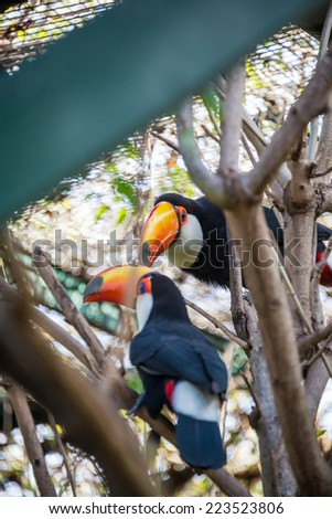 Beautiful Couple of Tucan birds at the Zoo. Colorful Animal.   - stock photo