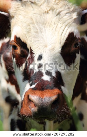 Beautiful cow close up portrait in Normandy, France - stock photo