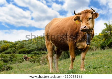 Beautiful cow grazes in the mountain with cloudy sky.