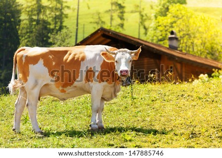 Beautiful cow on the field with barn on the background - stock photo
