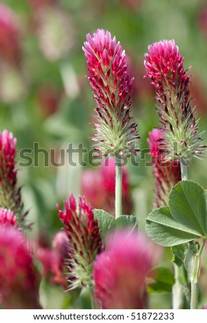 Beautiful crimson clover growing in South Carolina.  Selective focus. - stock photo