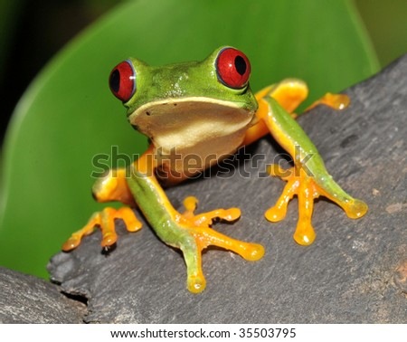 beautiful curious red eyed green tree or gaudy leaf frog sitting wood, corcovado, costa rica, latin america. exotic amphibian full frame macro close up rainforest treefrog tropical  jungle - stock photo