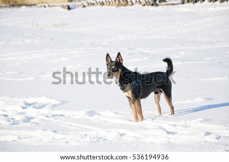 beautiful cute black and brown dog pet friend outdoor in sunny winter outdoor standing on white snow on natural background, copy space