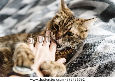 beautiful cute cat playing with woman hand and biting on stylish bed with funny emotions - stock photo