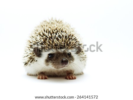 beautiful cute hedgehog baby rodent atelerix albiventris