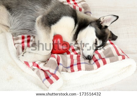 Beautiful cute husky puppy in room - stock photo