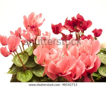 Beautiful cyclamen - stock photo