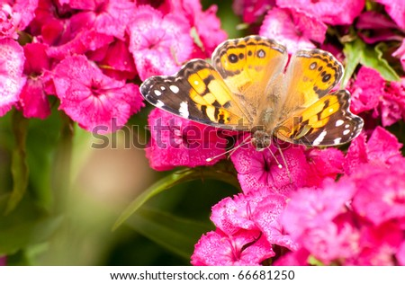 Beautiful Cynthia virginiensis butterfly feeding on a tiny pink flower - stock photo