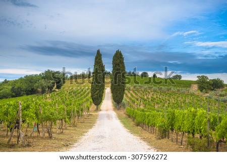 Beautiful cypress trees between vineyards in Tuscany - stock photo