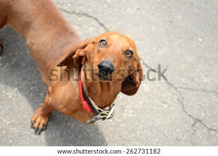 Beautiful dachshund stares and poses - stock photo