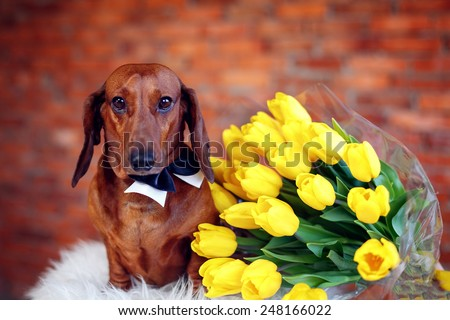 Beautiful Dachshund with yellow tulips. International Women's Day. March 8 Mother's Day - stock photo