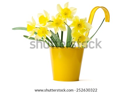 Beautiful daffodils in a yellow pot are isolated on a white background - stock photo