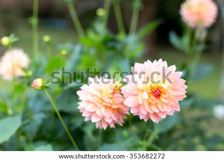 Beautiful Dahlia flower bloom in the garden - stock photo