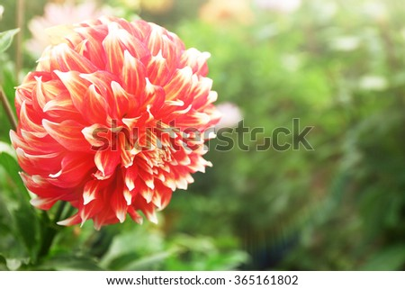 Beautiful dahlia flower, close up - stock photo