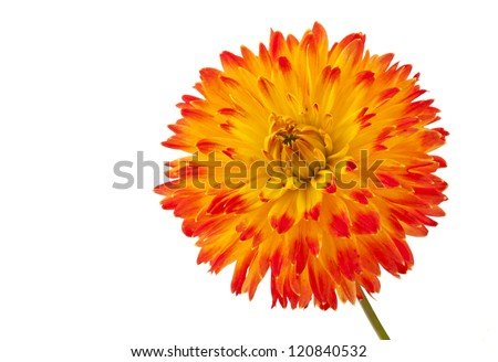 Beautiful dahlia flower isolated on white background. - stock photo