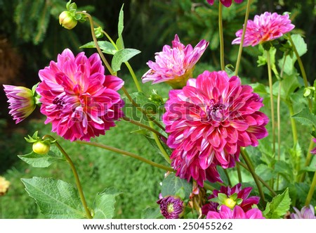 beautiful dahlia flowers on morning garden  - stock photo