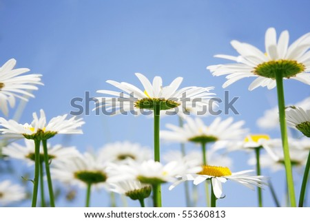 Beautiful daisies field against the sky - stock photo