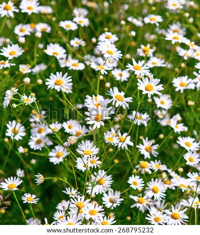Beautiful Daisies in the field. Summer flowers - stock photo