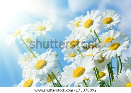 Beautiful daisies in the sun - stock photo