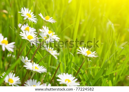 Beautiful daisies on a background of green grass - stock photo