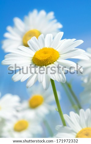 Beautiful daisies on a background of the sky - stock photo