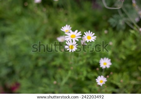 Beautiful daisy flower on spring green natural background - stock photo