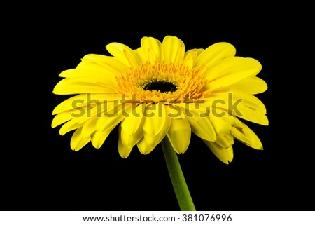 Beautiful daisy gerbera flower isolated on black background /  yellow gerbera flower isolated on black with clipping path / summer chamomile seamless close up dark background perfect grouped / market - stock photo