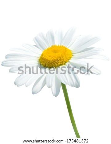 Beautiful daisy isolated on white background