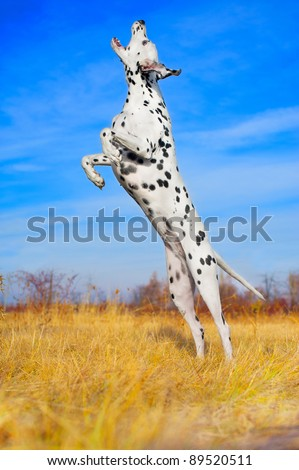 Beautiful Dalmatian dog jumping in a field